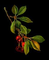 Früchtetee